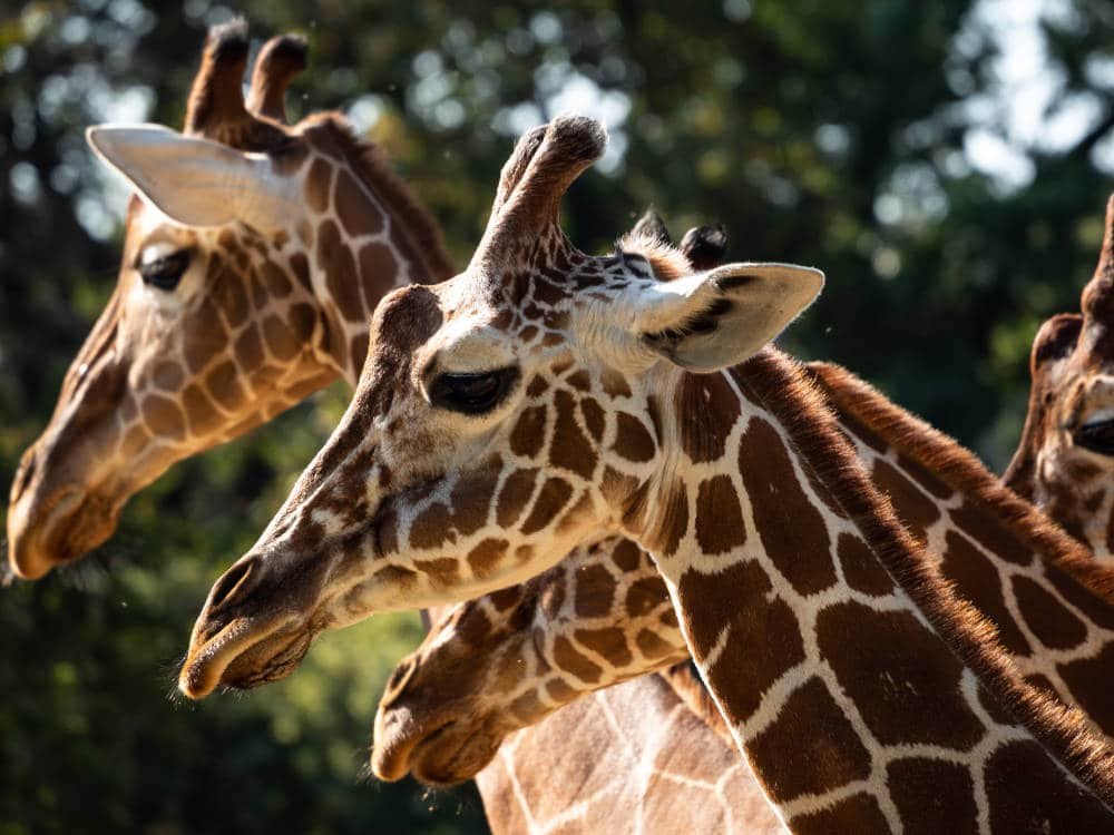 Giraffes capturées par Pierre-Loup Ducout au Zoo de Beauval