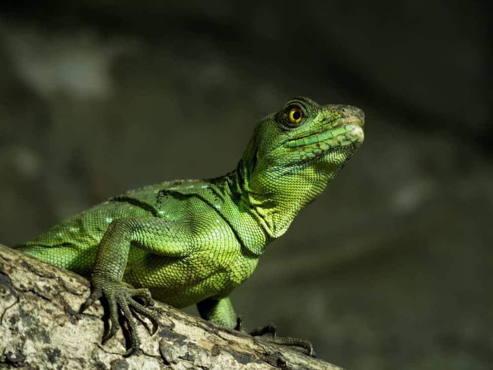Iguane Vert capturé par Pierre-Loup Ducout au Zoo de Beauval