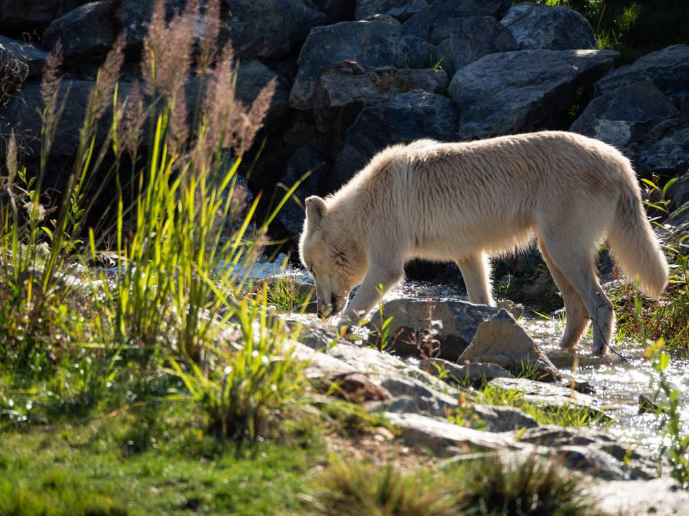 Loups arctiques capturés par Pierre-Loup Ducout au Zoo de Beauval