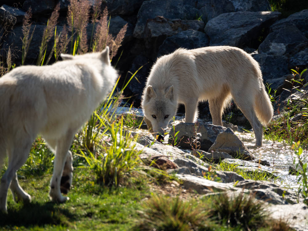 Loups arctiques capturés par Pierre-Loup Ducout au Zoo Parc de Beauval