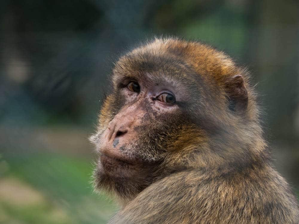 Macaque de Barbarie par Pierre-Loup Ducout capturé au Zoo de Beauval