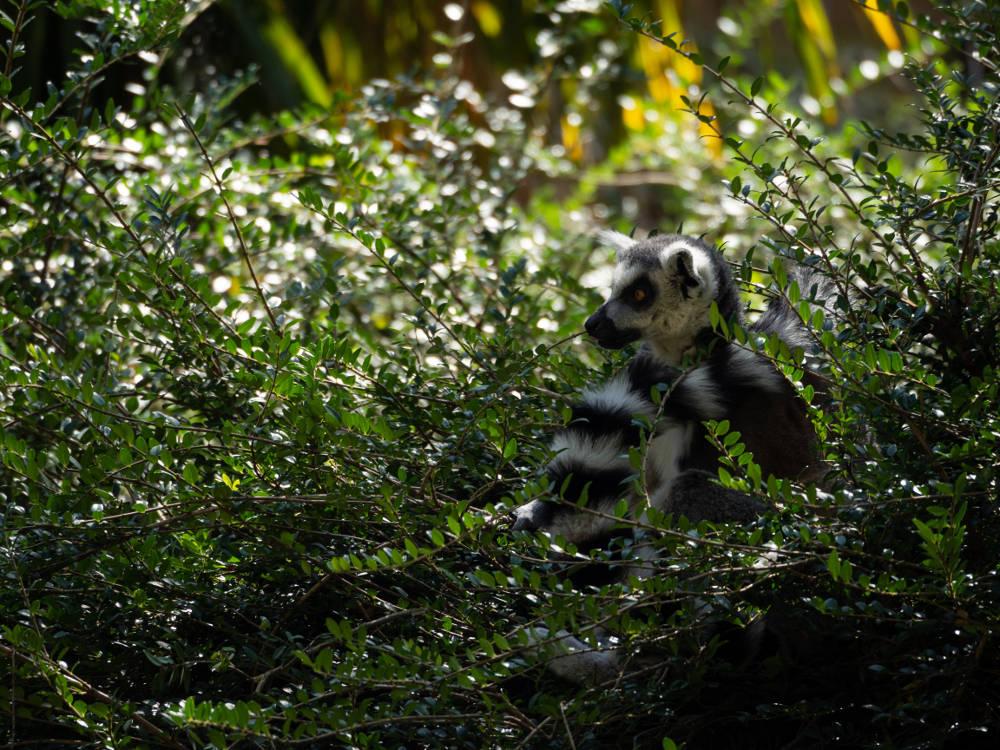 Maki Catta capturé par Pierre-Loup Ducout au Zoo de Beauval