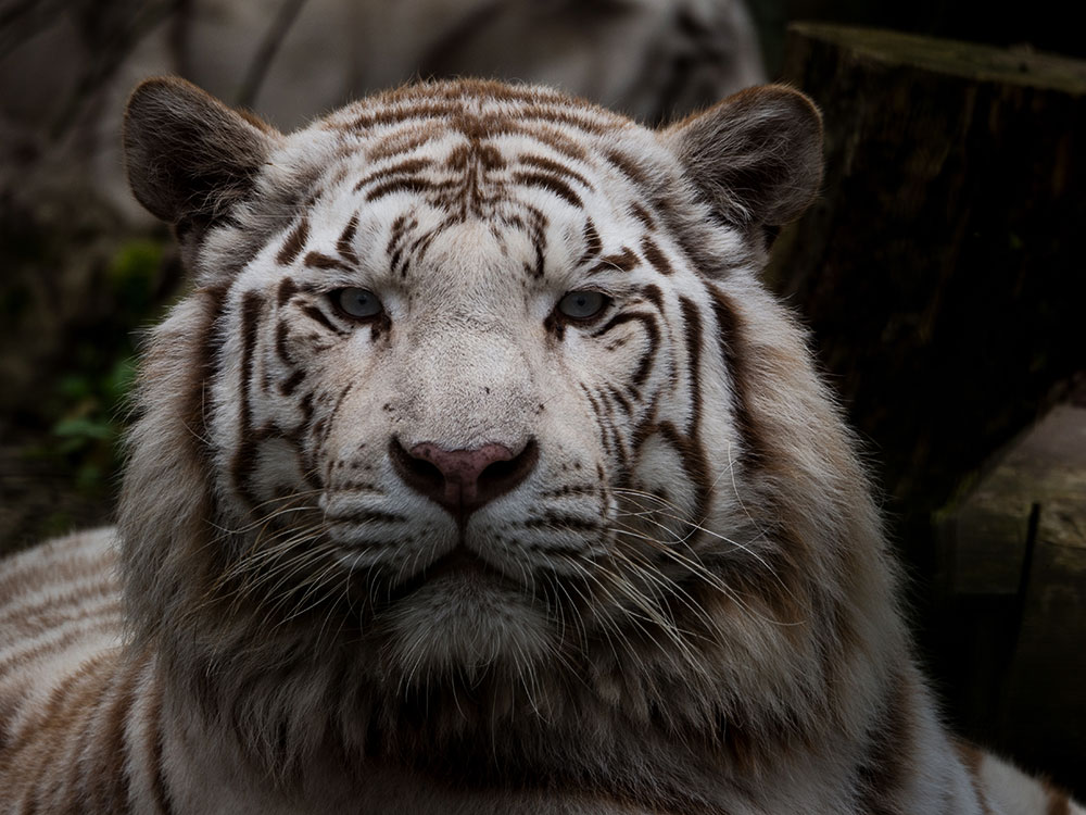 Tigre blanc capturé au Zoo Parc de Beauval par Pierre-Loup Ducout