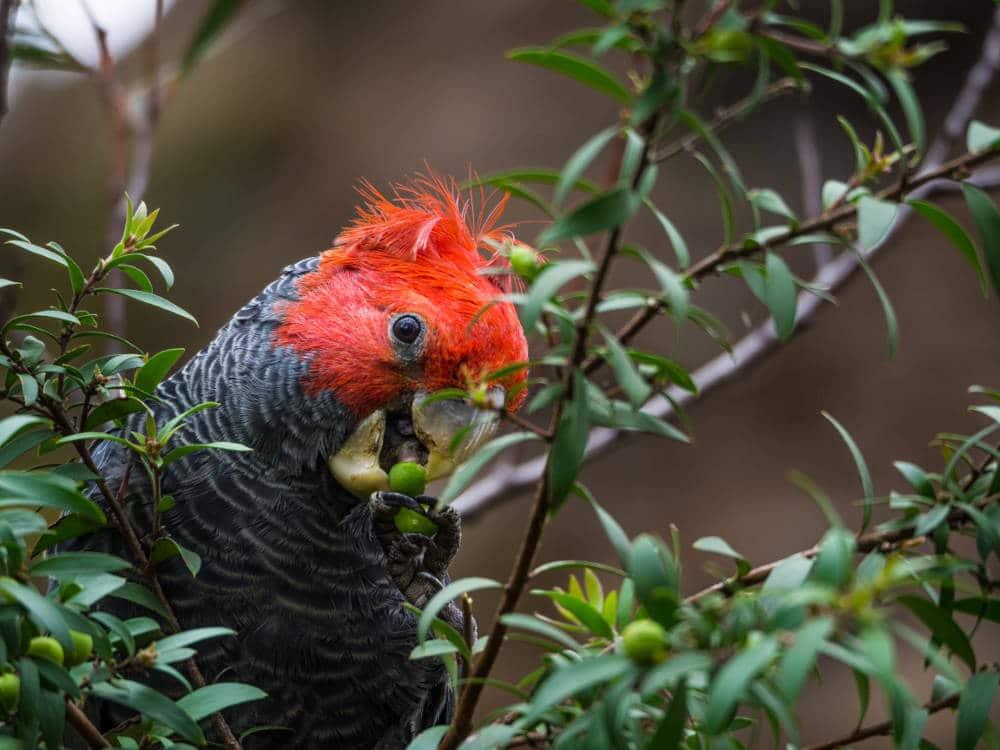 Gang-Gang Cockatoo ou Cacatoès à tête rouge capturé par Pierre-Loup Ducout dans les Blue Mountains d'Australie