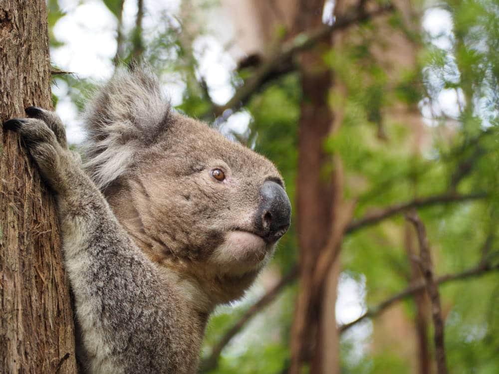 Koala capturé par Pierre-Loup Ducout le long de la Great Ocean Road en Australie