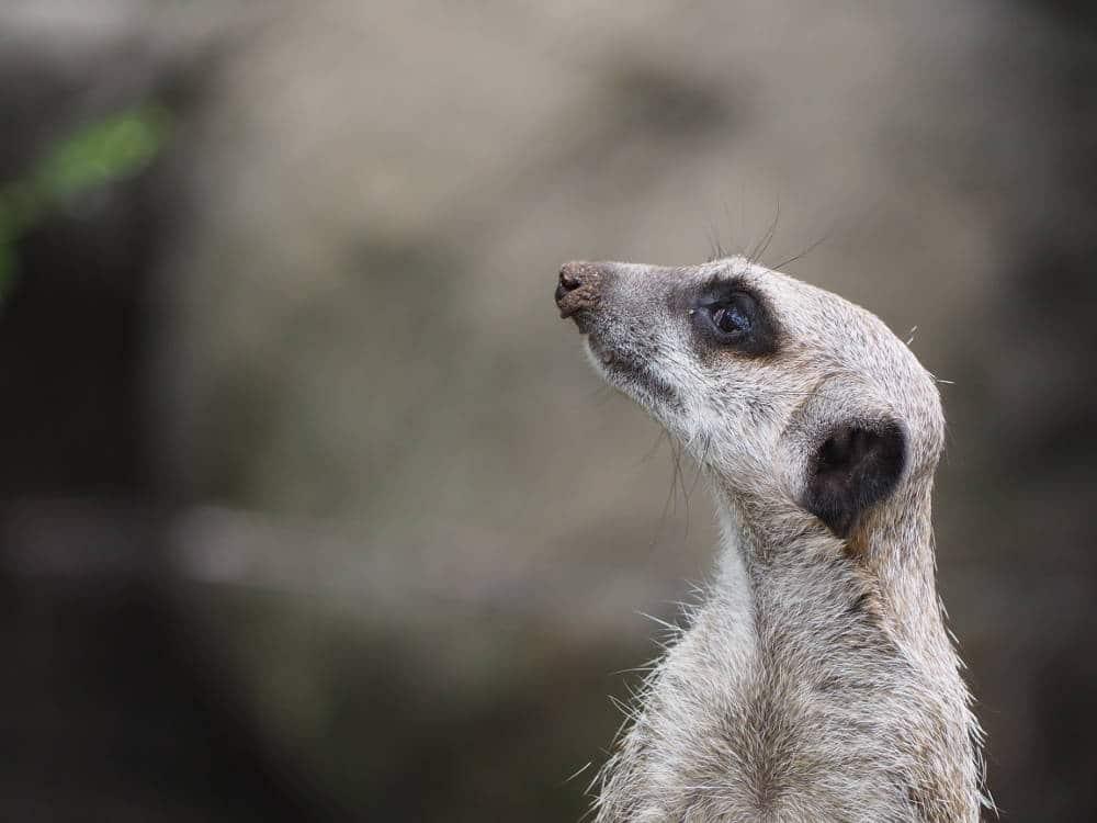 Profil d'un suricate capturé par Pierre-Loup Ducout au Zoo de Melbourne